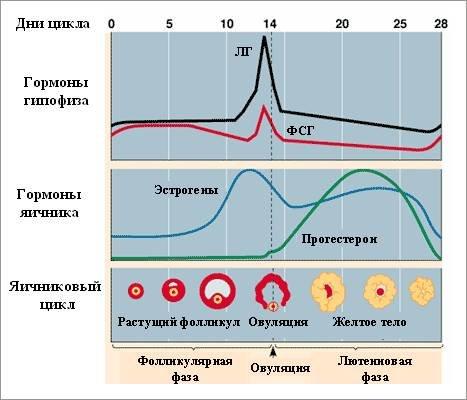 Как определить беременность по температуре в анальном отверстии